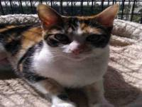 Domestic Short Hair - Chieko* - Medium - Adult - Female