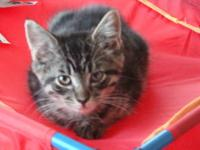 Domestic Short Hair - Chip - Small - Young - Male -