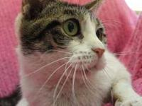 Domestic Short Hair - Chiquita - Medium - Adult -