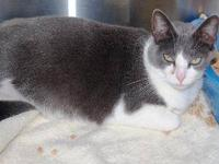 Domestic Short Hair - Chloe - Extra Large - Adult -