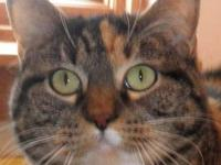 Domestic Short Hair - Chloe - Large - Adult - Female -