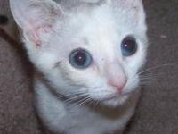 Domestic Short Hair - Cinderella - Small - Baby -