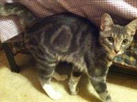 Domestic Short Hair - Cinnamon - Medium - Young - Male