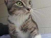 Domestic Short Hair - Cisco - Medium - Adult - Male -