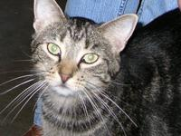 Domestic Short Hair - Clem - Medium - Adult - Male -