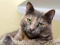 Domestic Short Hair - Cleo - Small - Adult - Female -