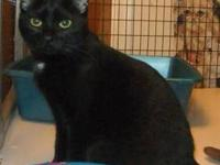 Domestic Short Hair - Cleo - Small - Young - Female -