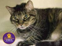 Domestic Short Hair - Clooney - Medium - Adult - Male -