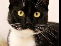 Domestic Short Hair - Clyde - Large - Adult - Male -