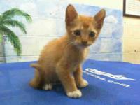 Domestic Short Hair - Cody - Small - Baby - Male - Cat