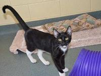 Domestic Short Hair - Collier - Large - Young - Male -