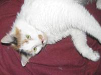 Domestic Short Hair - Cookie - Large - Adult - Female -
