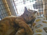 Domestic Short Hair - Cookie - Medium - Young - Female