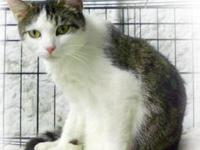 Domestic Short Hair - Cookie - Small - Adult - Female -