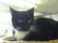 Domestic Short Hair - Cookie - Small - Young - Female -