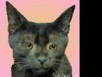 Domestic Short Hair - Corbin - Small - Young - Male -