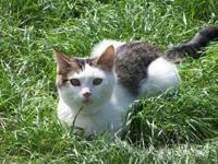 Domestic Short Hair - Corky - Medium - Young - Male -