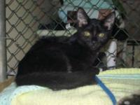 Domestic Short Hair - Cozette - Medium - Young - Female