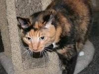Domestic Short Hair - Creamsicle - Large - Adult -