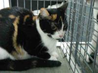 Domestic Short Hair - Crissy - Large - Young - Female -