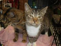 Domestic Short Hair - Cuddles - Small - Young - Female