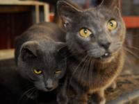 Domestic Short Hair - Curly & Larry - Medium - Adult -