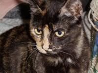 Domestic Short Hair - Daffy - Medium - Adult - Female -