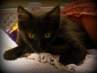 Domestic Short Hair - Dafney - Small - Baby - Female -