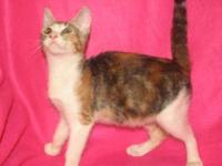 Domestic Short Hair - Dagmar - Small - Baby - Female -
