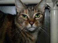 Domestic Short Hair - Daisy Mae - Medium - Adult -