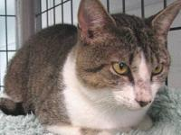 Domestic Short Hair - Daniel - Large - Adult - Male -