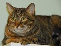 Domestic Short Hair - Danielle - Medium - Adult -
