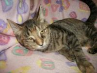 Domestic Short Hair - Danika - Small - Young - Female -
