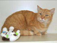 Domestic Short Hair - Darwin - Medium - Adult - Male -