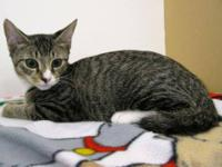 Domestic Short Hair - Davis - Medium - Baby - Male -