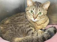 Domestic Short Hair - Dee Dee - Medium - Adult - Female
