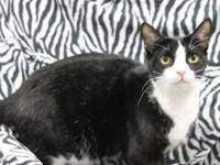 Domestic Short Hair - Delbert - Large - Young - Male -