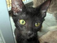 Domestic Short Hair - Delilah - Medium - Baby - Female