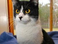 Domestic Short Hair - Demi - Small - Young - Female -