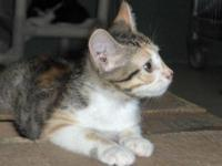 Domestic Short Hair - Di - Small - Young - Female -