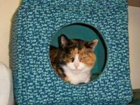 Domestic Short Hair - Dicey - Large - Adult - Female -
