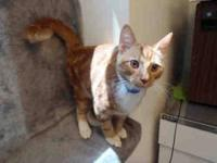 Domestic Short Hair - Disco - Small - Young - Male -
