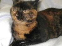 Domestic Short Hair - Dixie - Large - Adult - Female -