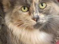 Domestic Short Hair - Dixie - Small - Adult - Female -