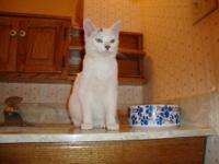 Domestic Short Hair - Dodie - Medium - Young - Male -