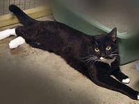 Domestic Short Hair - Dolly - Medium - Adult - Female -