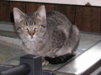 Domestic Short Hair - Dominick - Small - Young - Male -