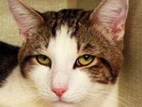 Domestic Short Hair - Drew - Medium - Adult - Male -