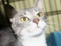 Domestic Short Hair - Duchess - Medium - Baby - Female