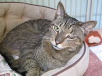 Domestic Short Hair - Duffy - Medium - Adult - Male -